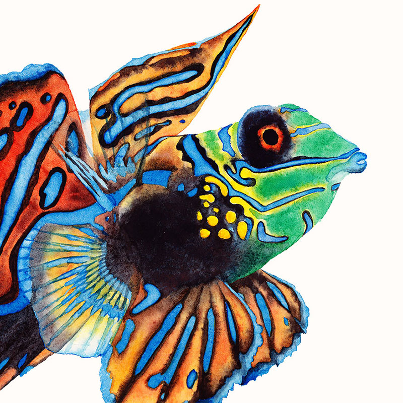 Mandarinfish watercolour