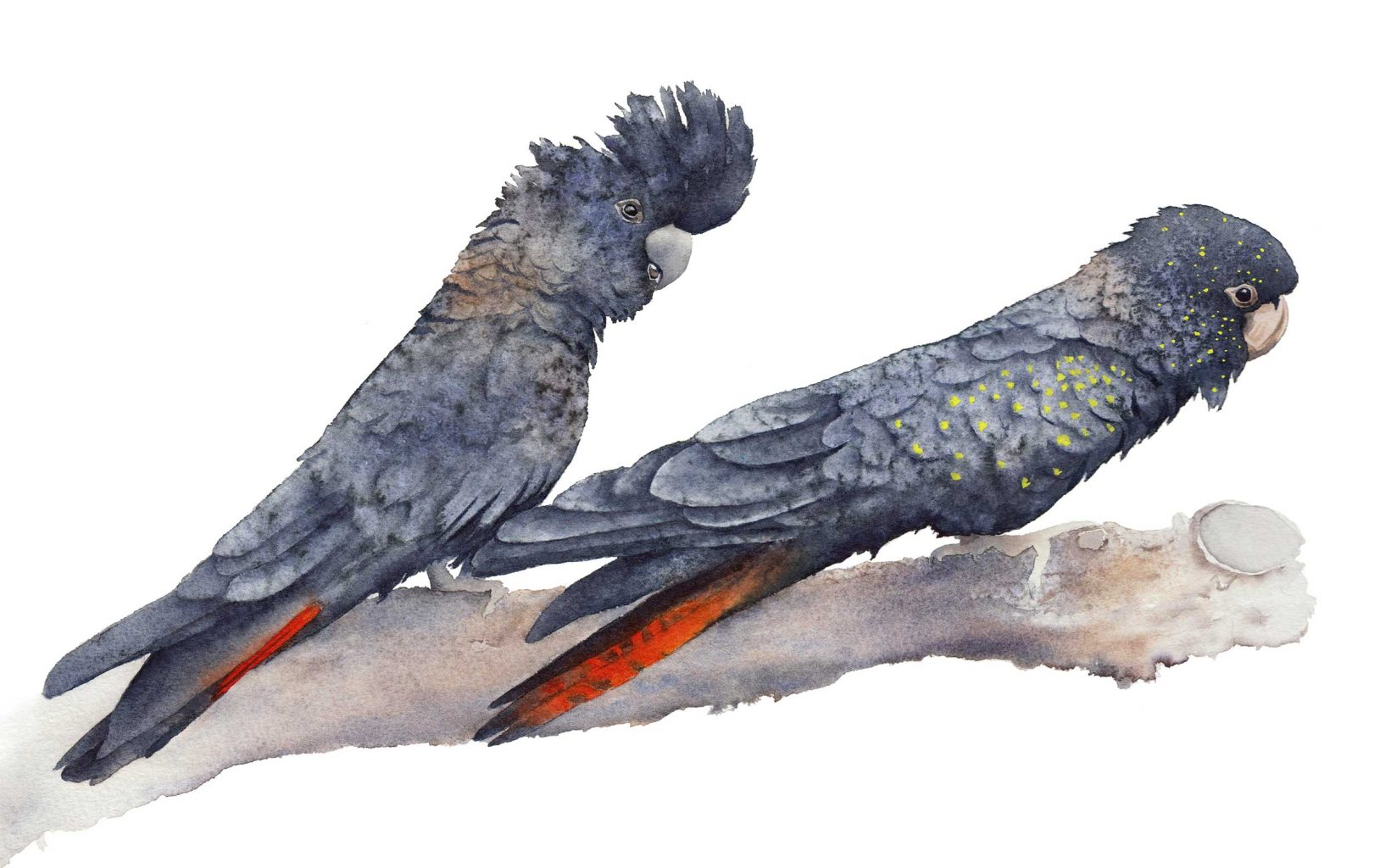Black_Cockatoos